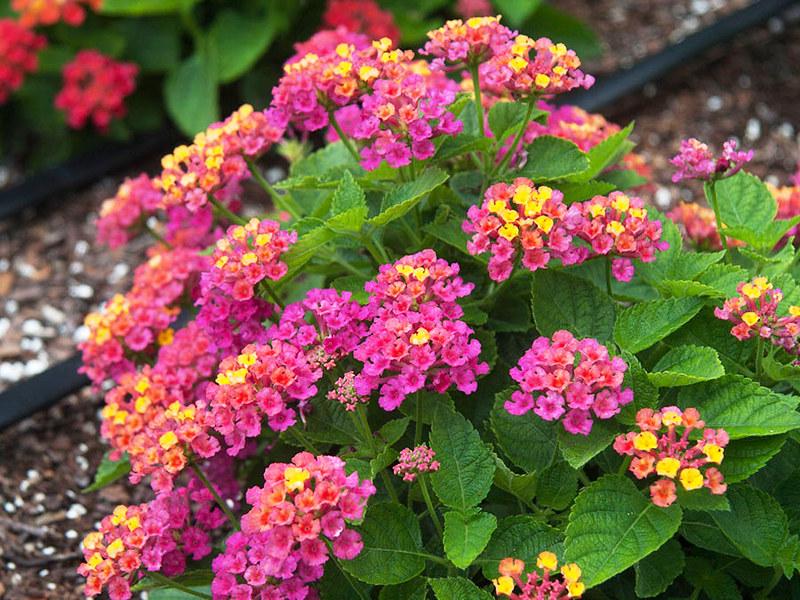 Loài hoa nở quanh năm, màu sắc rực rỡ