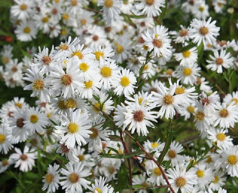 Loài hoa tượng trưng cho vẻ đẹp mong manh, thuần khiết
