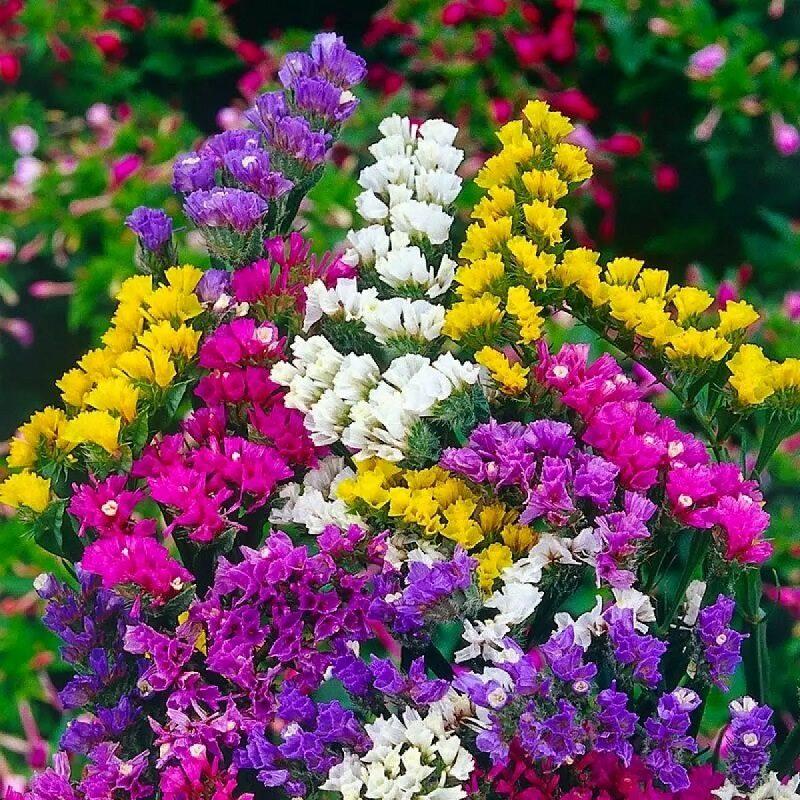 Mua salem tươi đủ màu tại shop hoa uy tín