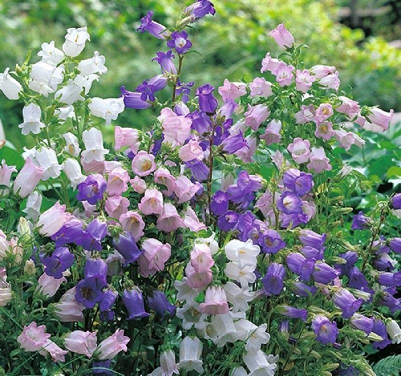 Sắc tím đẹp hút hồn của hoa chuông