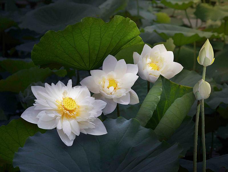 Sen trắng được trồng trong các công trình chùa chiền nổi tiếng