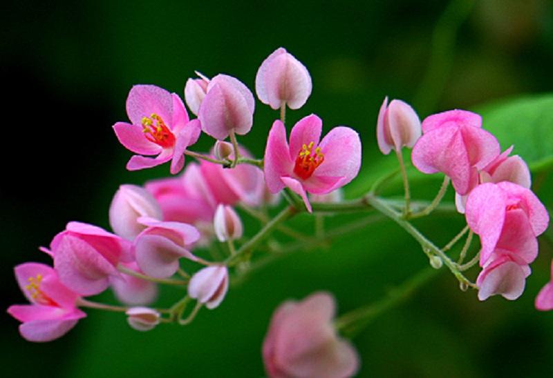 Tigon hồng biểu tượng cho tình cảm gắn bó, thân thiết