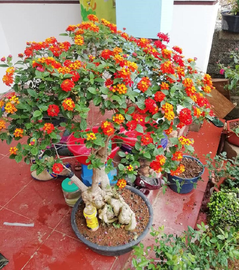 Vẻ đẹp đầy mê hoặc của cây hoa ngũ sắc