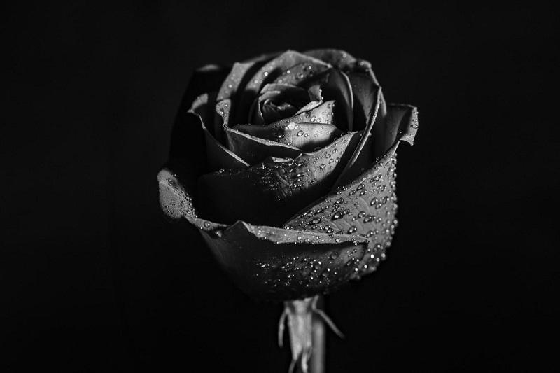 Vẻ đẹp đầy mê hoặc và bí ẩn của hoa hồng đen