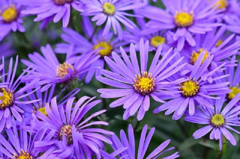 Vẻ đẹp đơn giản mà đầy cuốn hút của hoa thạch thảo