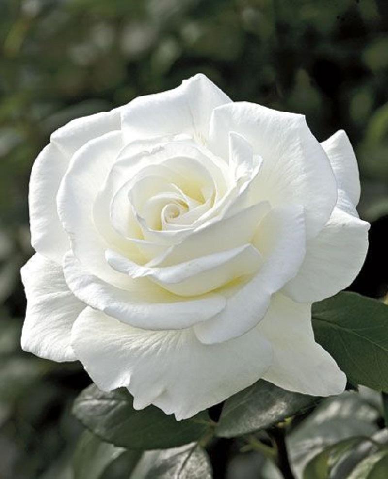 Vẻ đẹp hút hồn của hoa hồng trắng khiến bao người mê mẩn