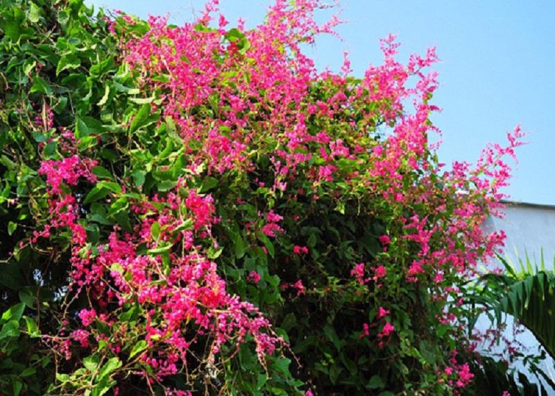 Vẻ đẹp mong manh cùng mùi thơm dịu nhẹ của hoa tigon