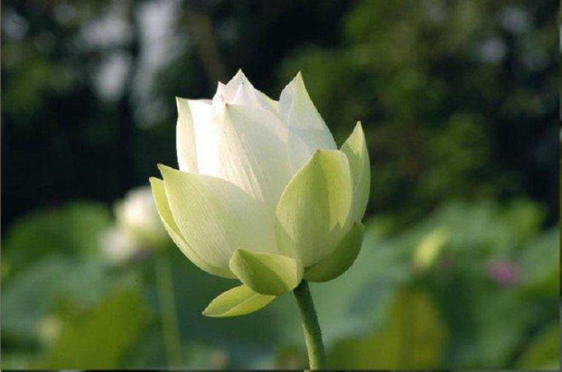 Vẻ đẹp mong manh, thuần khiết của hoa sen trắng