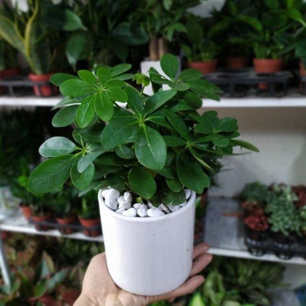 Vườn mặt trời – đơn vị cung cấp cây ngũ gia bì uy tín