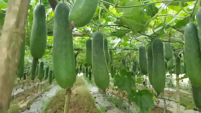 Bí đao thuộc dạng cây dây leo, thân mềm được trồng phổ biến nhiều nơi