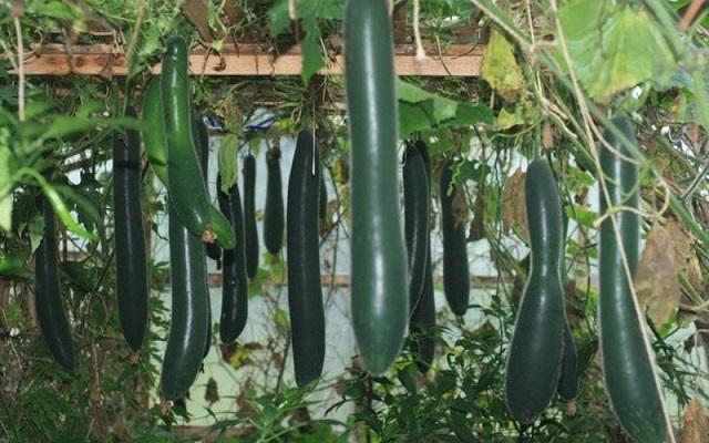 Bí đao xanh trái dài là giống bí có chất lượng cao