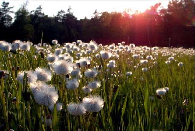 Bông hoa bồ công anh mỏng manh có nhiều ý nghĩa khác nhau