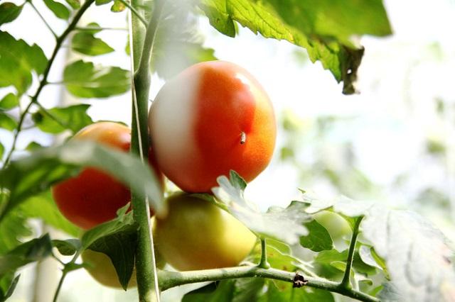 Cà chua Nhật cho năng suất rất cao