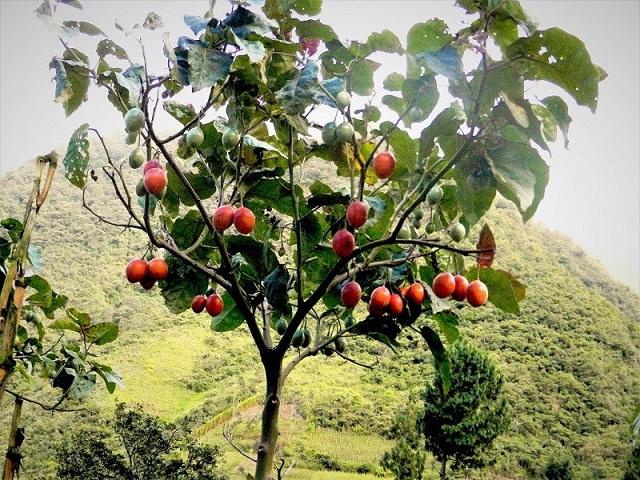 Cà chua thân gỗ có dáng cây cao