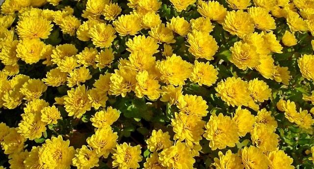 Cách chăm sóc cúc vàng sau khi gieo trồng