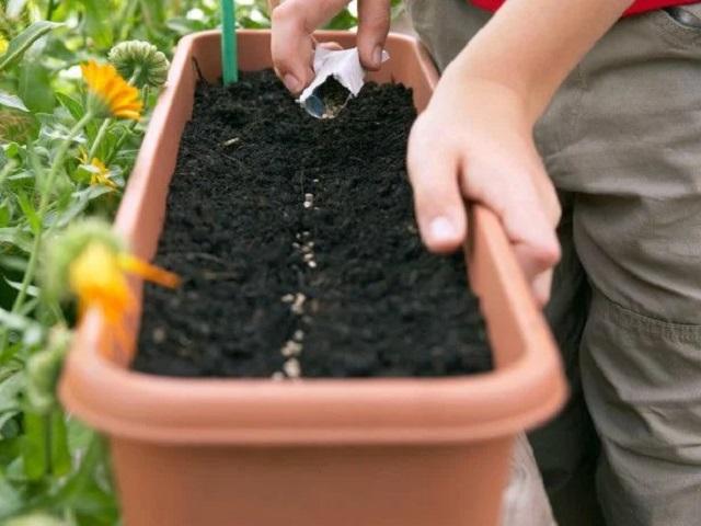 Cách gieo hạt giống rau xà lách tại nhà