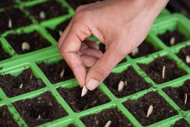 Cách gieo trồng hạt bí đỏ không khó