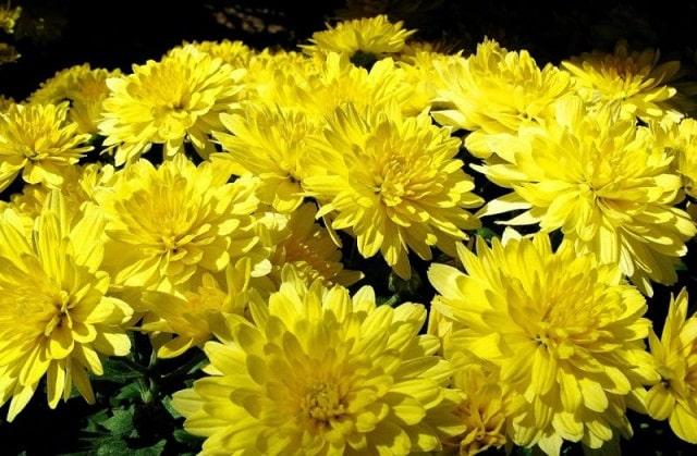 Cách trồng và chăm sóc hoa cúc vàng đơn giản, hiệu quả