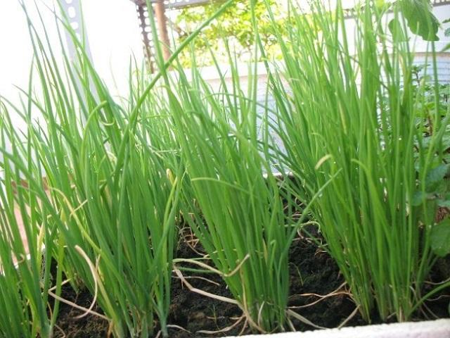 Cần chú ý bón phân và phòng trừ sâu bệnh và tưới nước cho cây