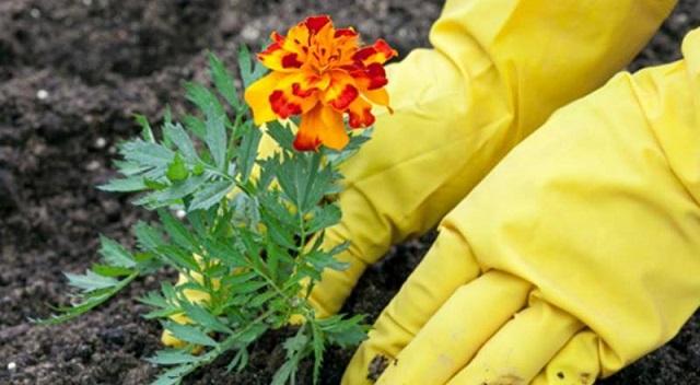 Cần chú ý chăm sóc hoa vạn thọ để cây nở hoa đúng dịp tết