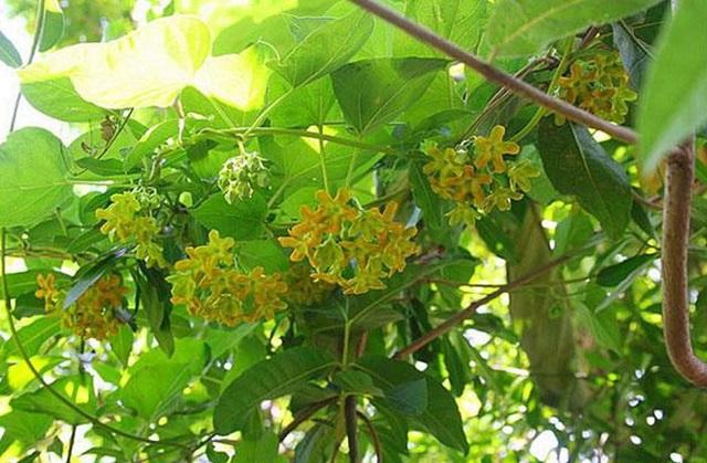 Cần tỉa cành và phòng trừ sâu bệnh để cây thiên lý ra nhiều hoa