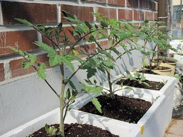 Cây cà chua cần được chăm sóc kỹ càng