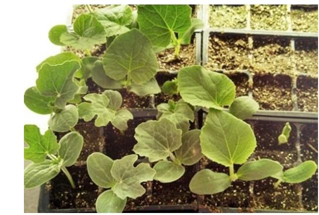 Cây con khi đã lên 2-3 lá cần được tách ra để phát triển tốt hơn