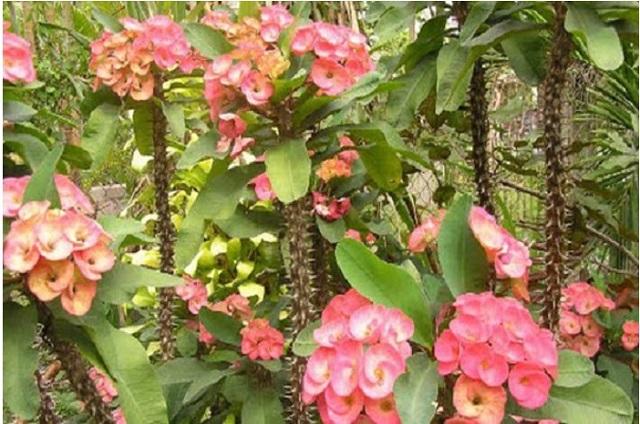 Cây xương rồng bát tiên có hoa màu đỏ rất đẹp