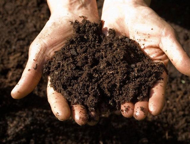 Chuẩn bị đất tơi xốp để ươm trồng hoa cẩm tú cầu