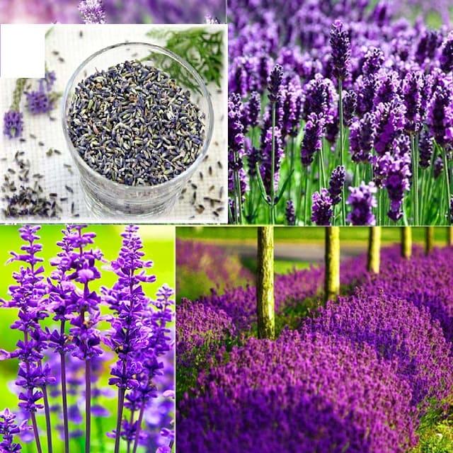 Chuẩn bị hạt giống hoa oải hương