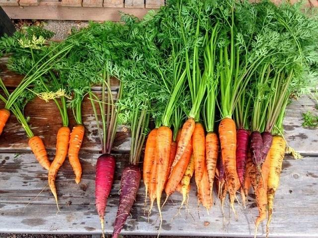 Củ cà rốt chính là do bộ phận rễ cái phình to