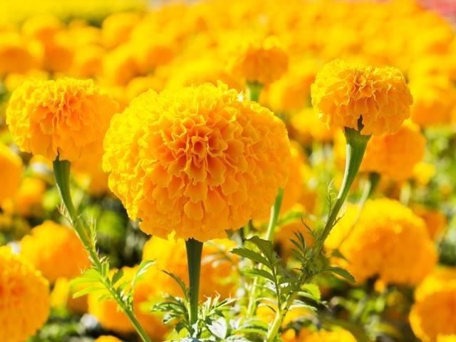 Cúc vạn thọ là loài hoa phổ biến mỗi dịp Tết đến xuân về