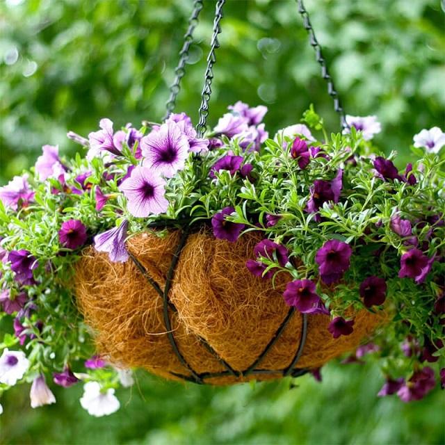 Dạ yến thảo là loài hoa có nhiều màu sắc rất đẹp, dễ trồng và chăm sóc