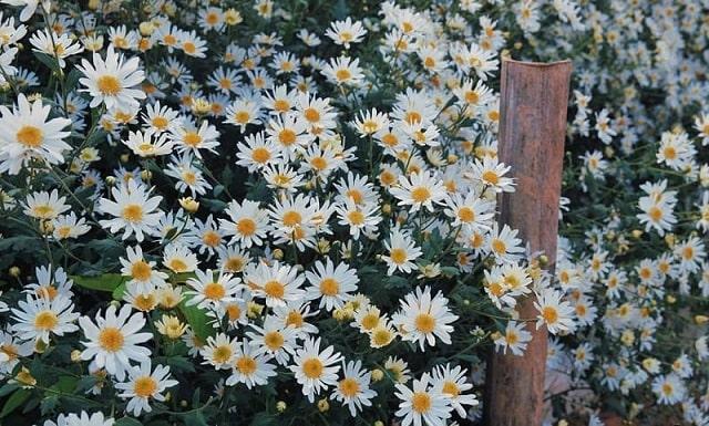 Đặc điểm sinh thái của hoa cúc họa mi
