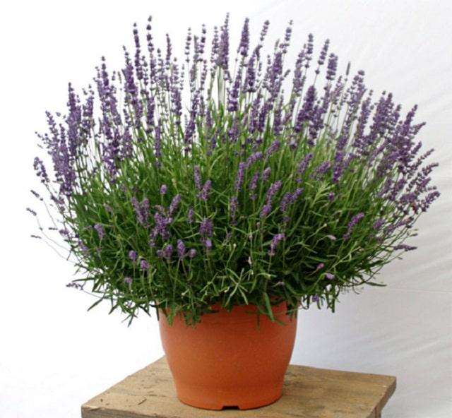 Đặt cây hoa oải hương ở vị trí nhiều ánh sáng