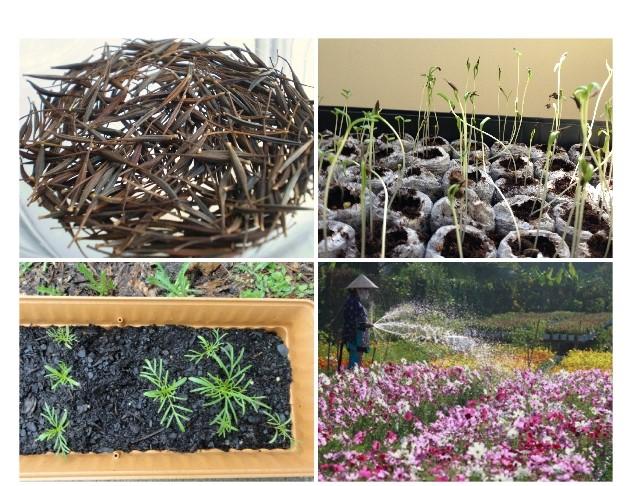 Cách trồng hạt giống hoa sao nhái đúng chuẩn