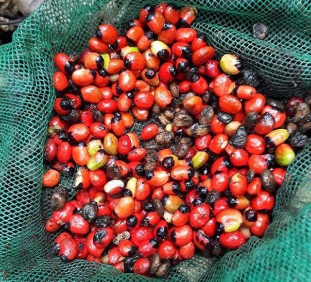 Giá hạt giống sâm ngọc linh cực kỳ cao so với các loại hạt giống khác và cũng rất khó mua