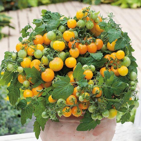 Giống cà chua bi lùn quả vàng
