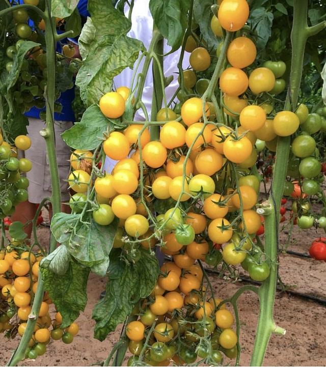 Giống cà chua cherry tròn vàng