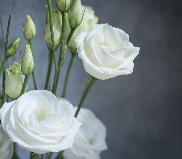 Giống hoa Cát Tường trắng