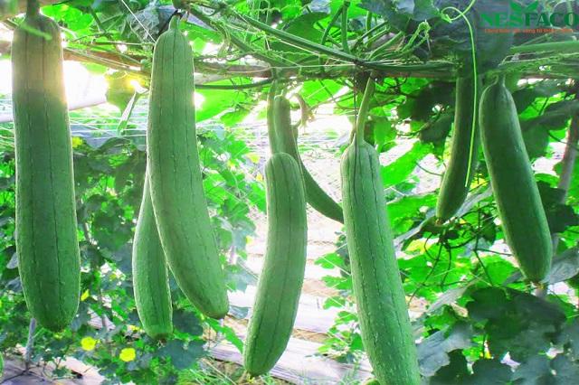 Giống mướp hương được trồng phổ biến ở nhiều gia đình hiện nay