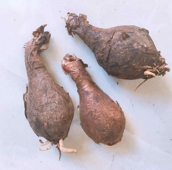 Hạt giống Hoa Bỉ Ngạn chính là sử dụng củ hoa để trồng