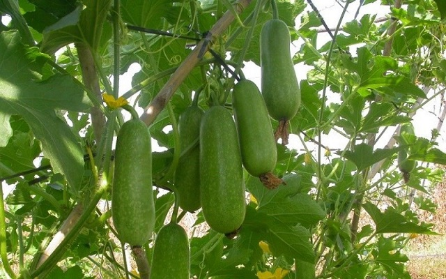 Hạt giống bí đao chanh cho quả có khối lượng và kích thước nhỏ