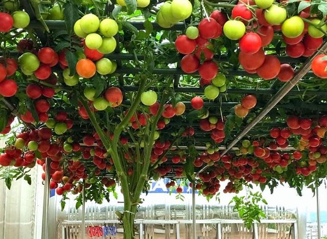 Hạt giống cà chua bạch tuộc có dáng cao to