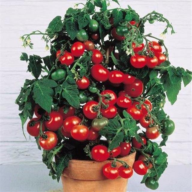 Hạt giống cà chua bi lùn quả đỏ