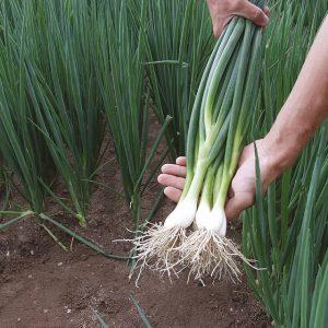 Hạt giống hành lá chất lượng mang lại năng suất cao cho người trồng