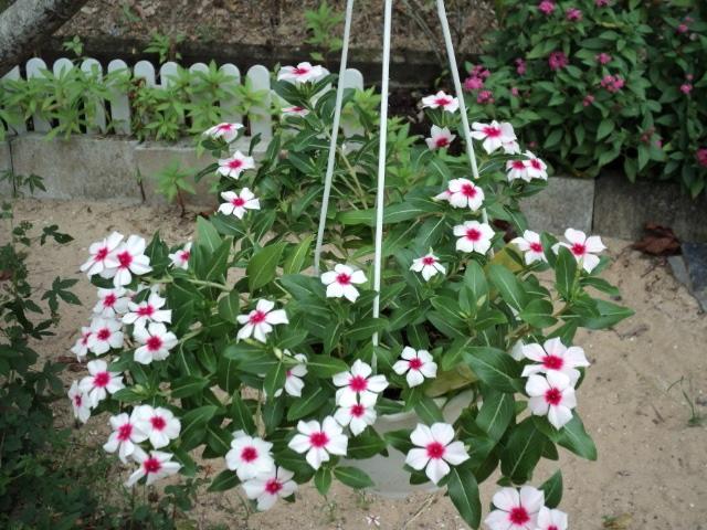 Hạt giống hoa dừa cạn rủ được nhiều người yêu thích