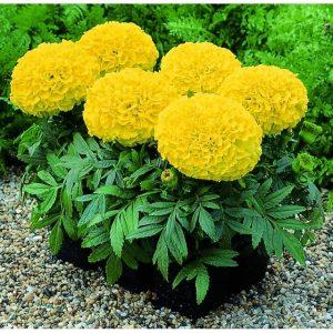Hạt giống hoa vạn thọ Mỹ thường trồng trong chậu để trưng bày