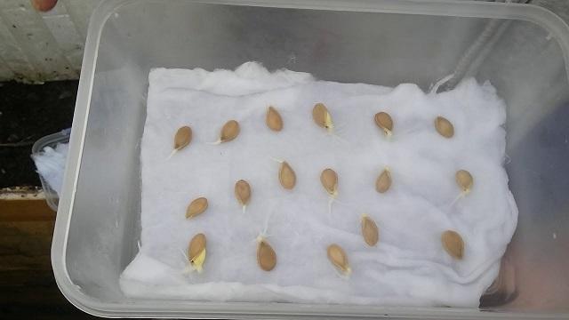 Hạt giống khổ qua nên được ủ trước khi gieo