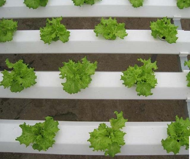 Hạt giống rau xà lách rất dễ trồng và dễ chăm sóc